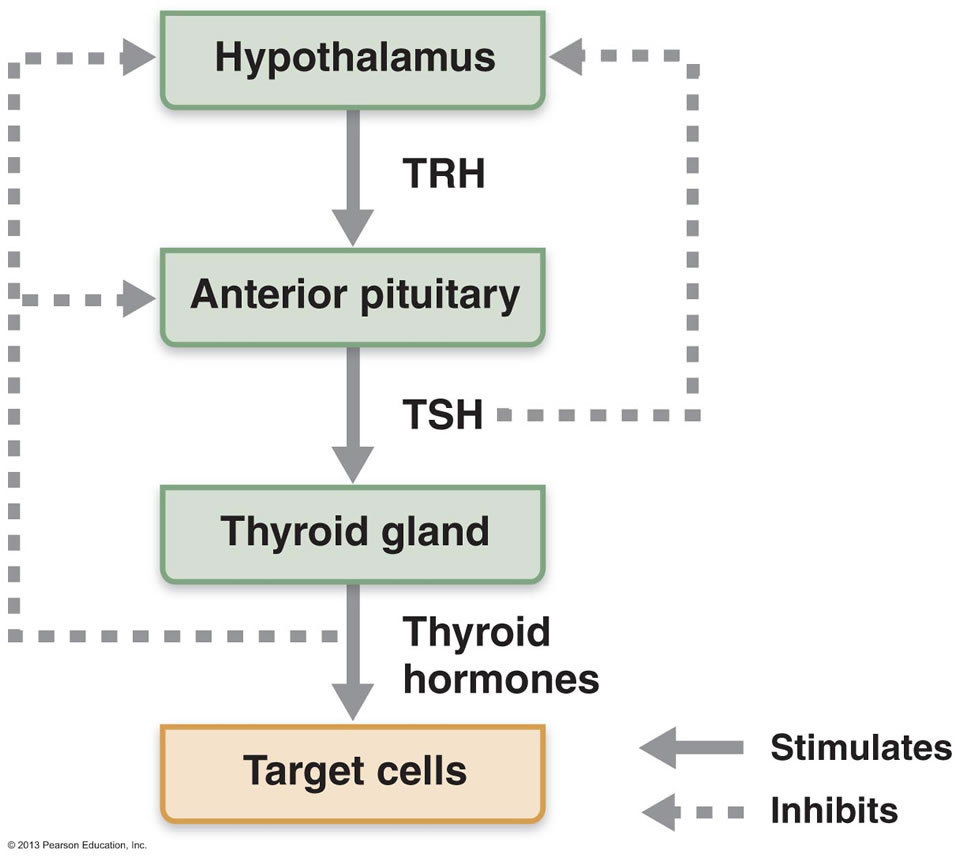 Tyranny Tsh Thyroid Testing