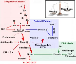 a series of coagulation factors with balancing fibronolysis factors