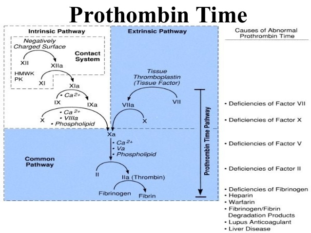 fibrin to fibrinogen cascade from intrinsic and extrinsic pathways