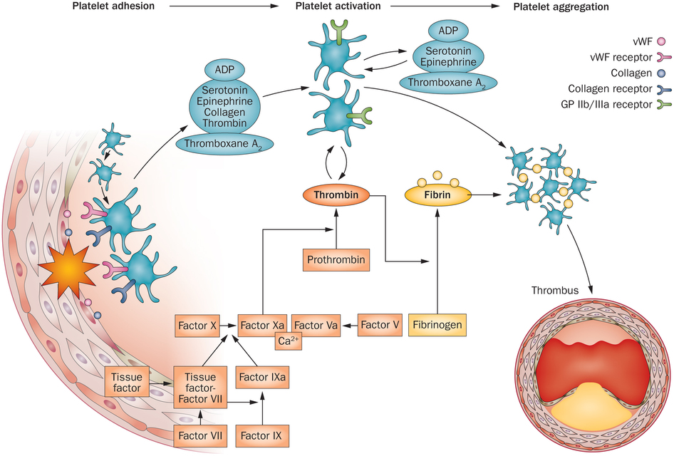 injury activates platelets causing thrombus formation