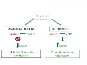 Carboxylation of GLA proteins is essential for arterial health and bone density