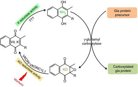 Vitamin K Cycle is essential for carboxylation