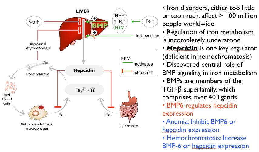 Hepcidin protein regulates iron absorption