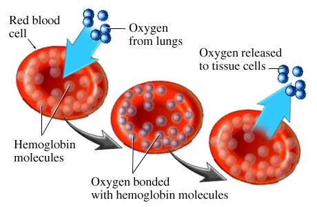 red blood cells transport and release oxygen
