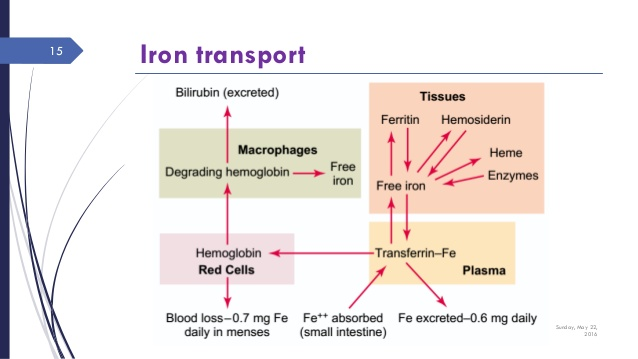 Iron transport in various compartments